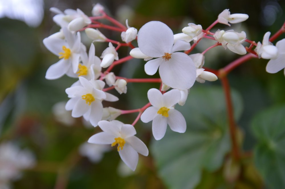 white_begonia_of_martinique_by_a1z2e3r-d8ckx7i