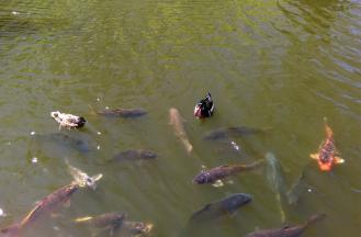 Wood ducks and Koi