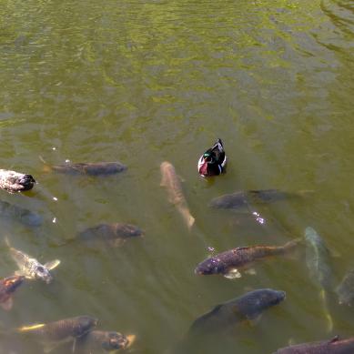 Wood ducks and Koi
