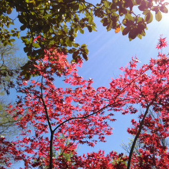 Red Maple in the sun
