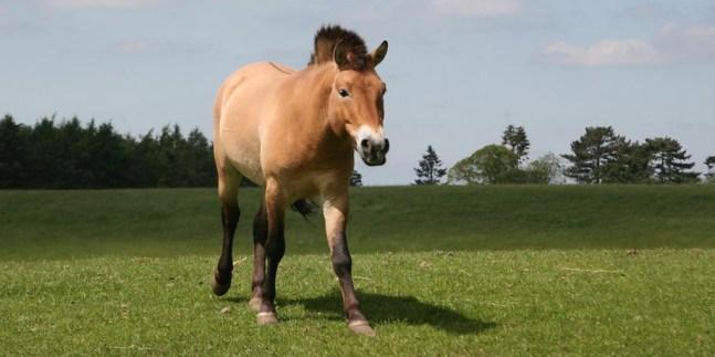 Przewalski-Horse_2-1
